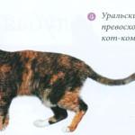 Уральский рекс, фото кошки