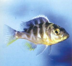 Аквариумная рыбка Венустус, фото