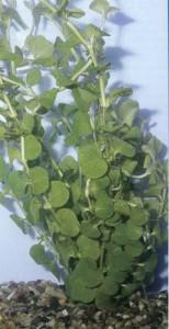 Вербейник монетчатый, фото растения