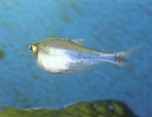 Фото, яйцекладущие рыбы