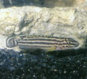 Юлидохромис Регана, фото рыбки
