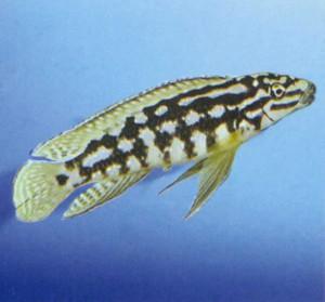 Юлидохромис сетчатый, фото рыбки