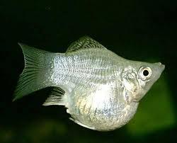 Живородящие аквариумные рыбы, фото