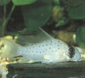 Фото рыбки Зубатка-фея