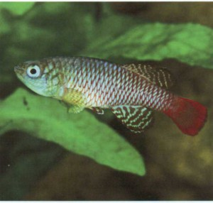 Фото рыбки панхакс голубой