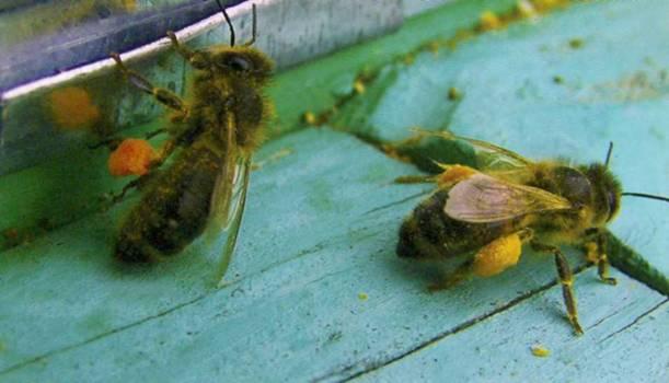 когда заканчивается взяток у пчел Они были